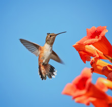 Cute Rufous Of Calliope Hummin...