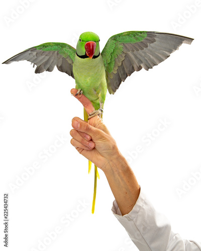 Alexandrine Parrot on Veterinarians Finger Wings Spread