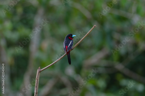 Black-and-Red broadbill on a branch