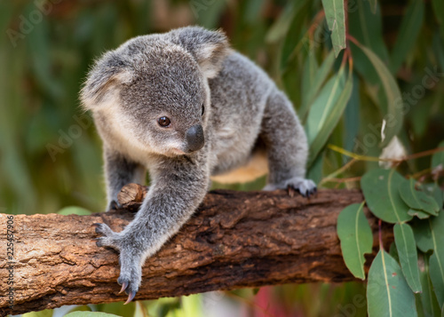 Koala joey walks on a tree branch