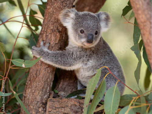 Spoed Foto op Canvas Koala Koala joey hugs a tree branch
