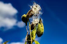 Milkweed Releasing Its Silky S...