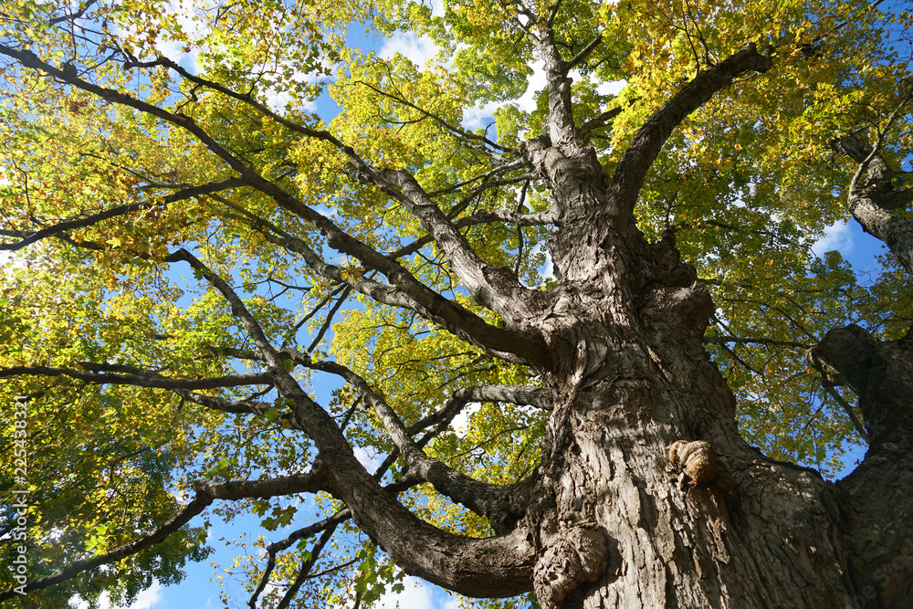 low angle view of autumn big tree