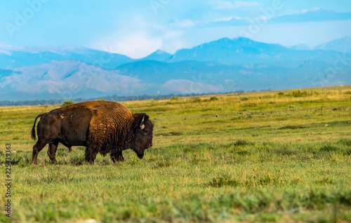 Canvas Prints Bison A Bison Roaming the Prairie of Colorado with Mountain Background
