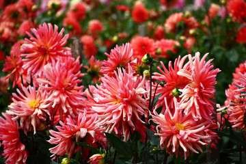 Pink field dahlias./In a flower bed a considerable quantity of flowers dahlias with petals in various tones of pink color.