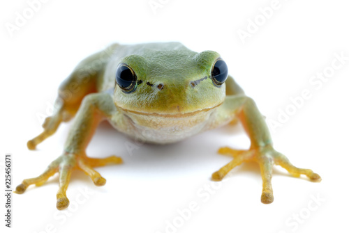 Foto op Canvas Kikker Green tree frog isolated on white background