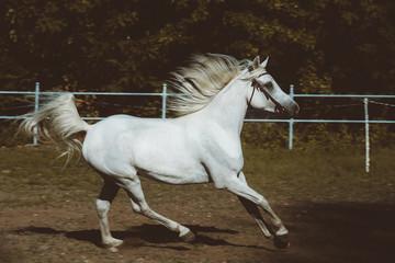Obraz na płótnie Canvas The white arabin at full speed