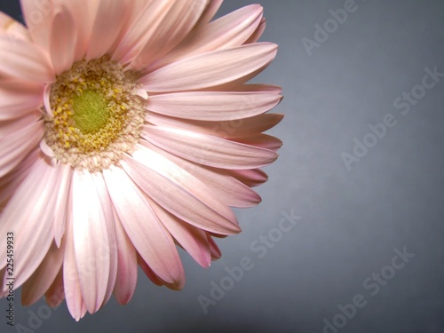 zoom / close up of petal of light pink flower (gerbera daisy) on the dark - grey background. vintage style