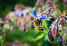 Bee On A Blue Borage Flower