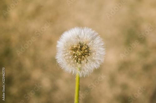 Fotobehang Paardebloem dandelion on background of green grass