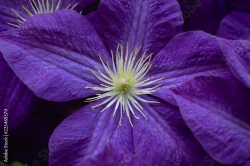 Fotografía  Closeup of a purple Clematis flower