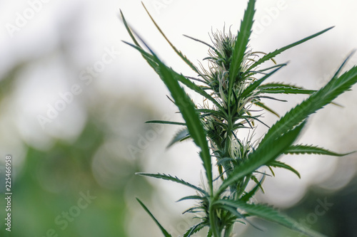 Fresh agricultural hemp grows in garden, flowering plant as medicinal medicine Wallpaper Mural