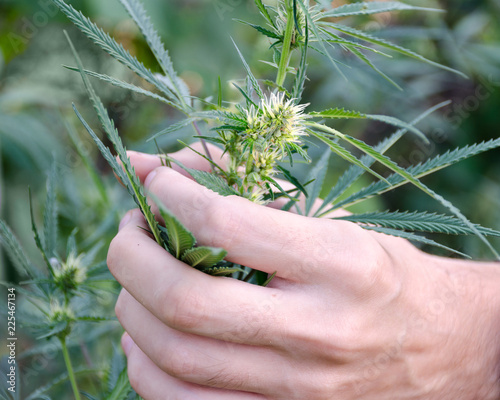 Man holds in hand leaves of marijuana, hemp with flowers in garden Canvas Print