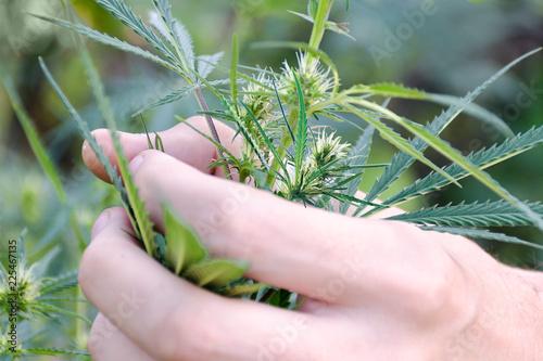 Tela Man hand holds heap of marijuana bush, hemp with flowers in garden