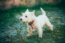 Small West Highland White Terr...