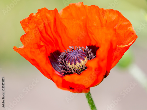 In de dag Klaprozen red poppy