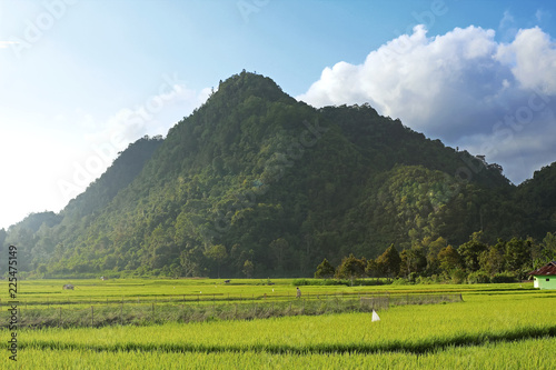 Rice Fields With Mountain Background