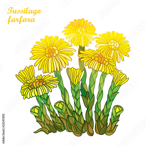 Vector Bush With Outline Tussilago Farfara Or Coltsfoot Or Foalfoot