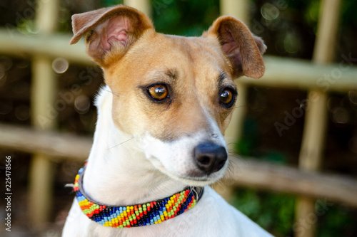 Fototapeta Cute perky terrier with expressive eyes and perked ears wearing colourful collar obraz na płótnie