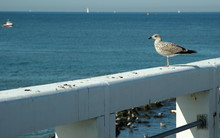 Young Seagull On The Pier In N...