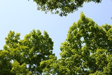 The Summer Green Treetops With...