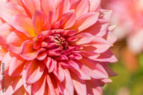 Pinke Kaktus Dahlie (Asteraceae) blüht im Sonnenlicht.