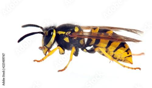 wasp isolateed on white background in latin Vespula