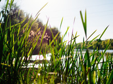 Overgrown Reeds On The Shore Of Lake.