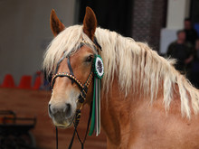 Draught Horse Winner Show Portrait In Dark Background