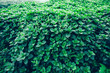 Green mint plants growing at vegetable garden
