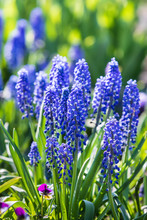 Muscari. Blue Spring Flowers