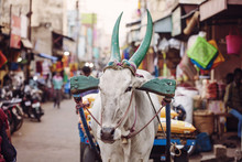 Udaipur, Rajasthan, India, January 31, 2018: Indian Cow Working On Public Street Market