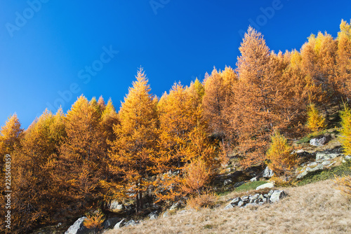 Poster Natuur The golden forest in the mountains