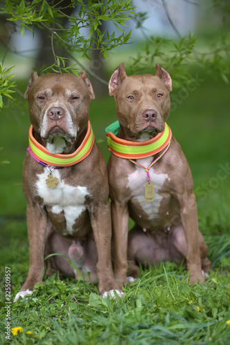 Tela two brown pit bull terriers together