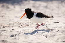 Oystercatcher On The Beach Of Düne, Heligoland
