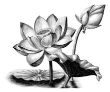 Lotus Flower Botanical Vintage Engraving Illustration Clip Art Isolated On White Background