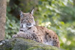 canvas print picture - Luchs