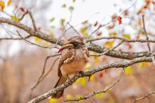 Female African Grey Hornbill (...