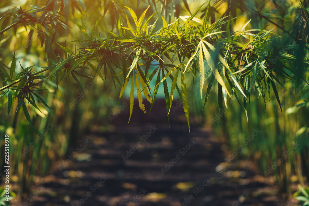 Fototapety, obrazy: Growing organic hemp on plantation