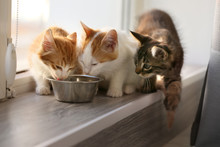 Cute Little Kittens Eating At Home
