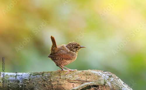 Valokuvatapetti portrait of a cute brown funny bird Wren standing in a Park on a tree with his l