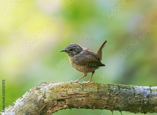 Valokuva portrait of a little funny bird Wren sitting in a Park on a tree with its tail r