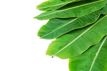 Banana Leaves With Water Drop At The Top Left Corner Over White Background. Photo Includes Three