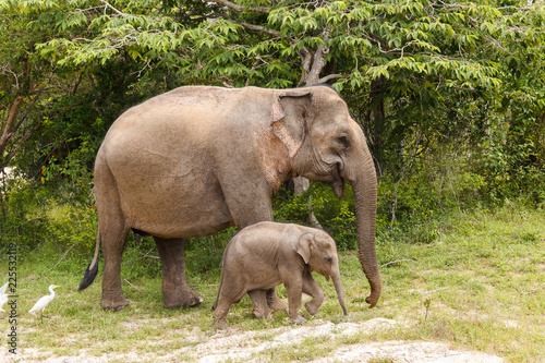 Poster Oceanië Elephant cow walking with baby elephant in Yala National Park