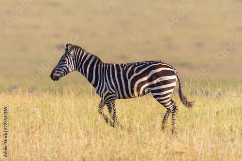 Zebra running on the savannah