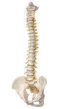 Human Spine Anatomy. Skeletal Human Spine And Vertebral Column Or Intervertebral Discs. Detailed Spine With Intervertebral Discs - Clipping Path. Isolated On White Background.