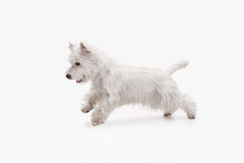 The West Highland Terrier Dog ...
