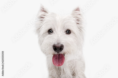 Fototapeta The west highland terrier dog in front of white studio background obraz