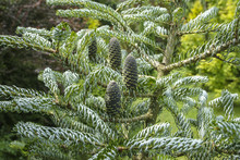 Macro Of The Cones On The Fir ...