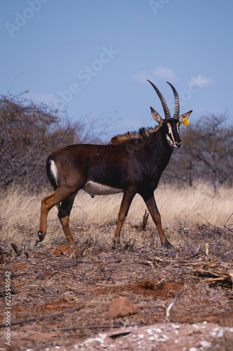 Sable Antelope Africa